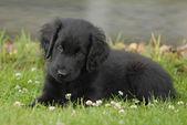 Black Retriever Puppy — Stock Photo