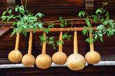 Sušené dýně visící na nosníky v domě — Stock fotografie