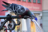 Pigeon drinking water on a hot summer day — Stock Photo