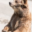Stock Photo: Brown bear (Ursus arctos) is among largest and most powe