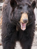 Medvěd hnědý (ursus arctos) patří mezi největší a nejvíce pohán — Stock fotografie