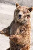 The brown bear (Ursus arctos) is among the largest and most powe — Stock Photo