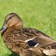 Brown wild duck (Anas platyrhynchos) on green grass — Stock Photo