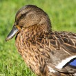Brown wild duck (Anas platyrhynchos) on green grass — Photo