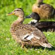 Brown wild duck (Anas platyrhynchos) on green grass — Stock fotografie