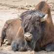 Stock Photo: Sitting buffalo resting in sunny day