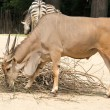 The common eland (Taurotragus oryx), also known as the southern — Stock Photo