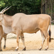 Stock Photo: Common eland (Taurotragus oryx), also known as southern