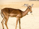 Antelope (Aepyceros melampus) standing on a rocky sandy backgrou — Stock Photo
