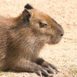 Capybara (Hydrochoerus hydrochaeris) is the largest rodent in th — Stock Photo #39536621