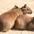 Capybara (Hydrochoerus hydrochaeris) is the largest rodent in th — Stock Photo #39536633