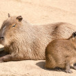 Capybara (Hydrochoerus hydrochaeris) is the largest rodent in th — Stock Photo #39536641