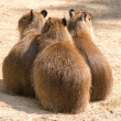 Capybara (Hydrochoerus hydrochaeris) is the largest rodent in th — Stock Photo #39536659