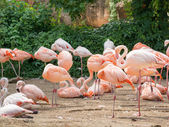 Flamingo is a type of wading bird in the genus Phoenicopterus — Stock Photo