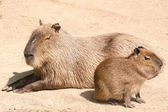 Capybara (Hydrochoerus hydrochaeris) is the largest rodent in th — Stock Photo