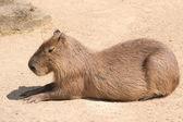 Kapybara (hydrochoerus hydrochaeris) är det största gnagarart i th — Stockfoto