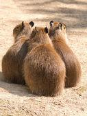 Capybara (Hydrochoerus hydrochaeris) is the largest rodent in th — Zdjęcie stockowe