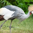 The Grey Crowned Crane (Balearica regulorum) is a bird in the crane family Gruidae. — Stock Photo