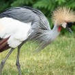 The Grey Crowned Crane (Balearica regulorum) is a bird in the crane family Gruidae. — Stock Photo #39580859