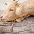 Cute young kid goat in a farm — Stock Photo