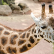 Stock Photo: Giraffe eating dry grass from metal basket