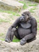 Male silverback gorilla, single mammal on grass — Stockfoto