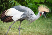 The Grey Crowned Crane (Balearica regulorum) is a bird in the crane family Gruidae. — Foto de Stock