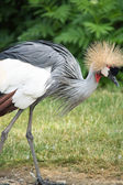 The Grey Crowned Crane (Balearica regulorum) is a bird in the crane family Gruidae. — Stock Photo