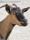 Head shot of a brown goat in a farm — Zdjęcie stockowe