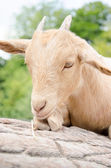 Cute young kid goat in a farm — Zdjęcie stockowe