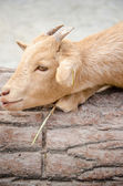Cute young kid goat in a farm — ストック写真