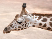 Portrait of a giraffe (Giraffa camelopardalis) — Stock Photo