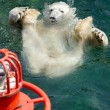 Stock Photo: Polar bear (Ursus maritimus) swimming in water
