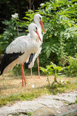 White stork standing on the grass (Ciconia ciconia) — Stock Photo