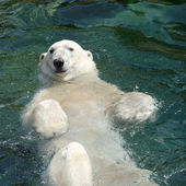 Polar bear (Ursus maritimus) swimming in the water — Stock Photo