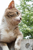Brown and white cat sitting on a wooden fence — Foto Stock