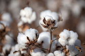 Cotton — Stockfoto