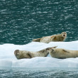 Seals on ice — Stock Photo