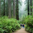 Stock Photo: Tourist viewing Redwood national park California