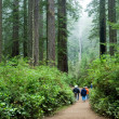 Tourist viewing Redwood national park California - Stock Photo