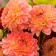 Orange chrysanthemums — Stock Photo