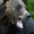 Stock Photo: Wild bear