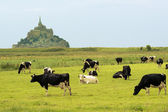 Le Mont Saint Michel. Cow pasture — Stock Photo