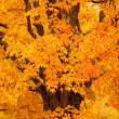 Maple tree in autumn, New England — Stock Photo