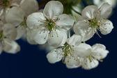 Cherry blossoms — Photo