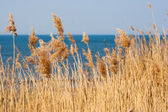 Reed on background of the sea — Stock Photo