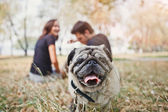 Pug-dog walk in the park and look to camera — Stock Photo