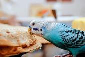 Parrot and pancakes — ストック写真