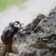 Stock Photo: Beetle named rhinoceros (cervus) on stub 2