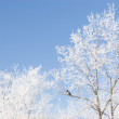 Stock Photo: Brunches or trees covered with snow and blue winter sky